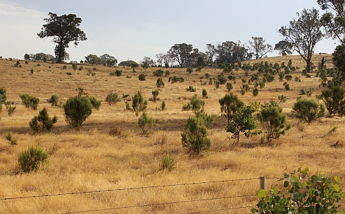 Natural regeneration of Drooping Cassinia near Metcalfe.